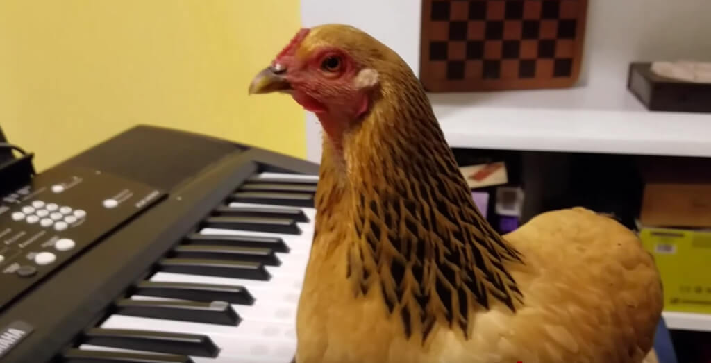 Chickens can play piano now, apparently.